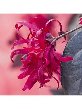 loropetalum-chinese-witch-hazel-039everred039-2l-potted-plant