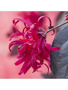loropetalum-chinese-witch-hazel-everred-2l-potted-plant