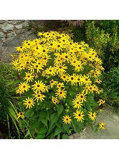 rudbeckia-039goldsturm039-3-x-9cm-potted-plants