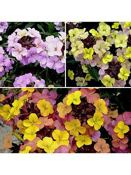 erysimum-hardy-wallflower-039summer-skies039-mix-3-x-9cm-potted-plants