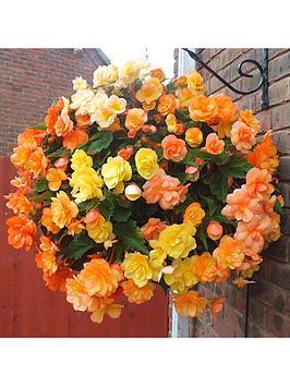 trailing-begonia-apricot-shades-12-x-jumbo-plugs