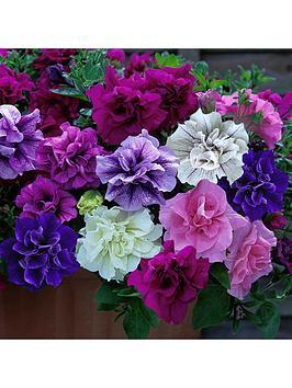 fragrant-double-petunia-039tumbelina-collection039-12-x-jumbo-plugs