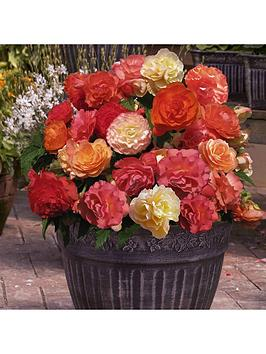 fragrant-039heaven-scent039-trailing-begonias-12-x-jumbo-plugs