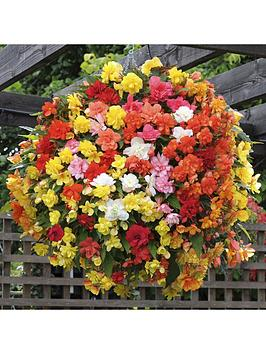 trailing-begonia-039super-cascade039-mix-12-x-jumbo-plugs