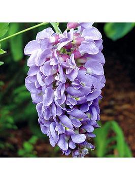 compact-wisteria-039amethyst-falls039-15cm-pot-55cm-trellis
