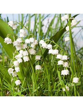 hardy-039lily-of-the-valley039-3-x-9cm-potted-plants