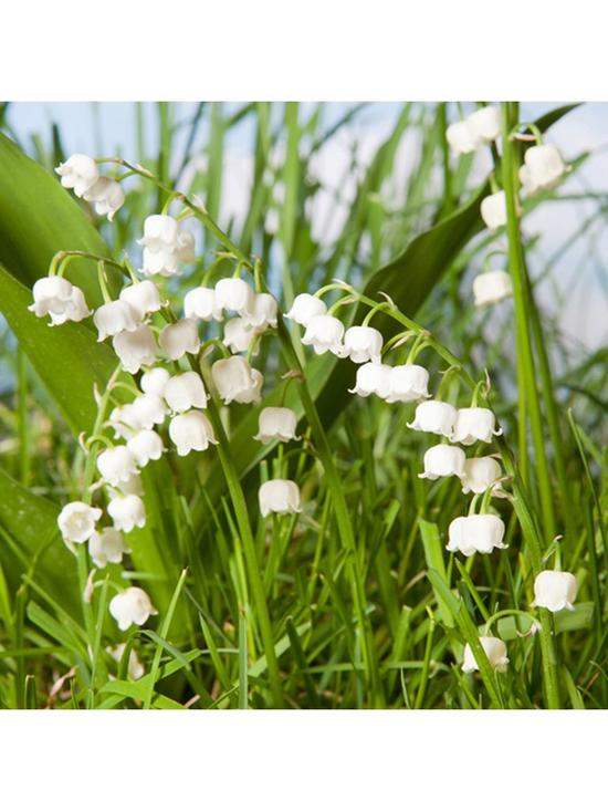 Hardy Lily Of The Valley 3 X 9cm Potted Plants Very