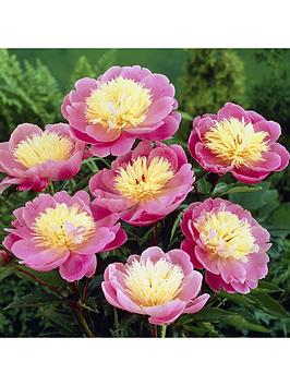Peony 'Bowl Of Beauty' 3 X Bare Roots