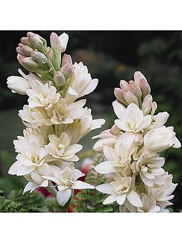 polianthes-tuberosa-tuberrose-pack-of-10-bulbs