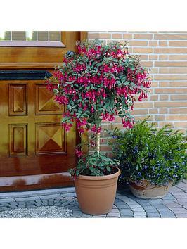 standard-fuchsia-tree-3l-potted-plant