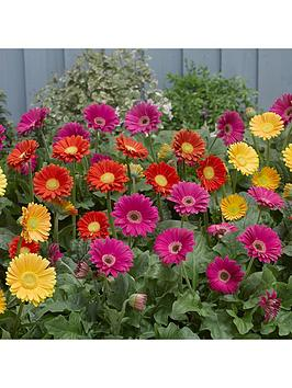 hardy-gerbera-garvinea-collection-3-x-7cm-potted-plants