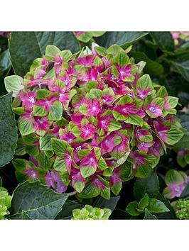 hydrangea-039glam-rock039-2-x-14cm-potted-plants
