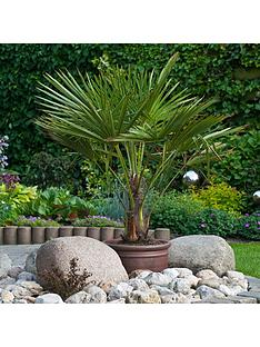hardy-fan-palm-trachycarpus-fortunei-60-70cm-tall