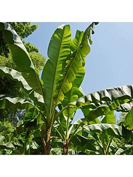 musa-basjoo-hardy-banana-plant-50cm-tall-1l-potted-plant