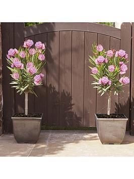 pair-of-half-standard-oleanders-pink-65cm-tall