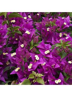 bougainvillea-pink-pillar-3l-potted-plant-14m-tall