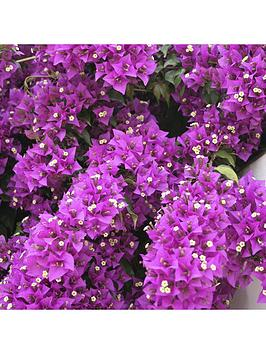 bougainvillea-alexandra-5l-potted-plant-14m-tall