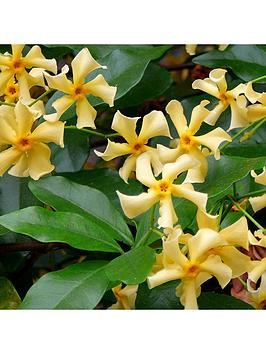 trachelospermum-star-of-toscana-3l-potted-plant-14m-tall