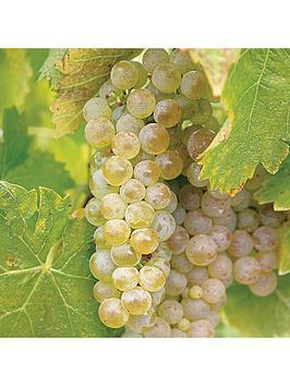 grape-vine-phoenix-18m-tall-5l-potted-plant