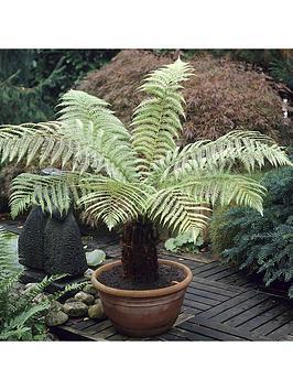 dicksonia-antartica-tree-fern-pottednbsp20cm