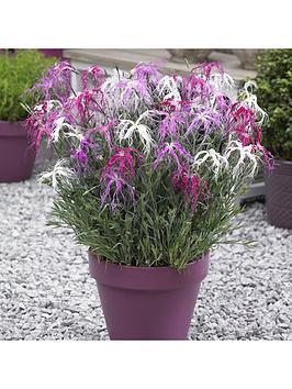 dianthus-039geisha-girl039-6-x-7cm-potted-plants