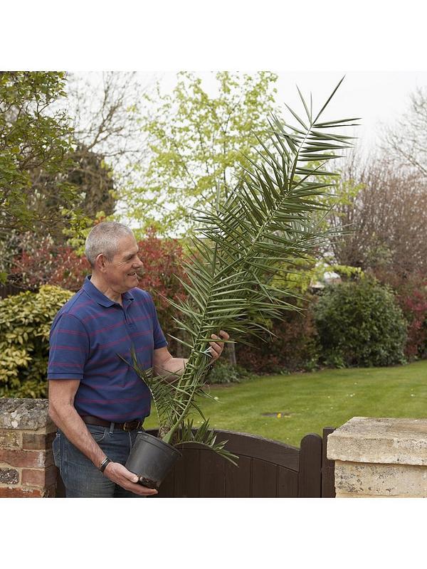 Pair Hardy Phoenix Palm Trees