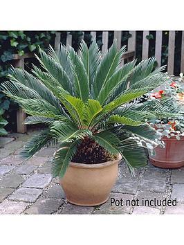 cycas-sago-palm-14cm-pot
