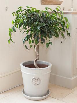 ficus-danielle-houseplant-spiral-stem-70cm-tall