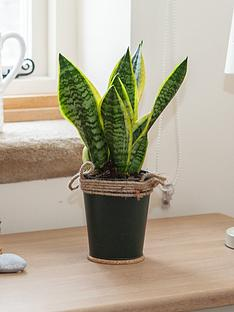 easy-care-houseplant-sansevieria-in-13cm-zinc-pot