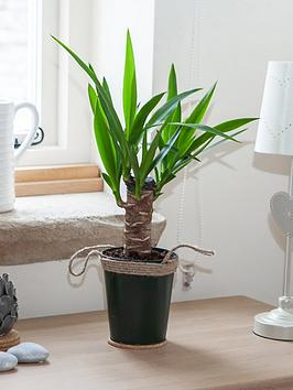 easy-care-houseplant-yucca-trunk-25cm-in-13cm-zinc-pot