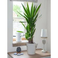 Yucca 2 Stem 45/20cm In 17cm Pot 80cm Tall   Green Houseplant by