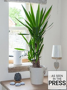 yucca-2-stem-4520cm-in-17cm-pot-80cm-tall-green-houseplant