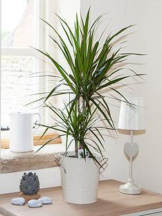 dracaena-marginata-2-stem-3015cm-in-17cm-pot-75cm-tall-green-houseplant