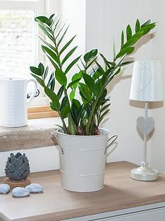 zamioculcas-zamiiafolia-17cm-pot-70cm-tall-green-hpuseplant