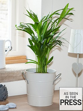areca-palm-butterfly-palm-14cm-pot