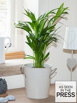 areca-palm-butterfly-palm-14cm-pot