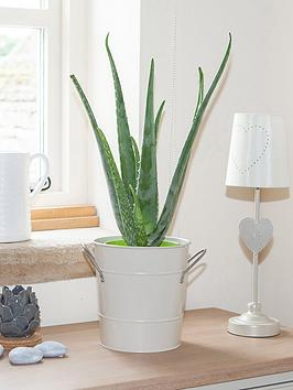 aloe-vera-15cm-50cm-tall-green-houseplant
