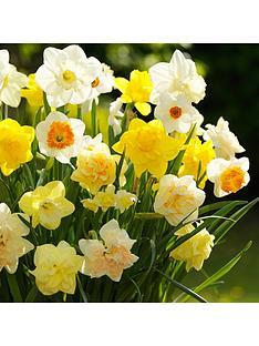 tall-daffodils-mixi-x-50-bulbs