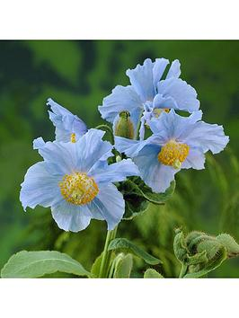 himalayan-blue-poppy-3-x-7cm-plants