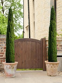 pair-of-italian-cypress-trees-80-100cm-tall