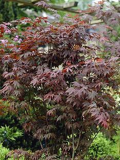 acer-atropurpureum-red-maple-3l-60cm-tall
