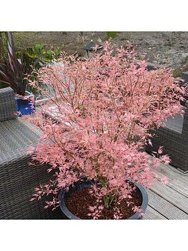 acer-taylor-3l-pot-50cm-tall-pink-leaves