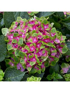 hydrangea-glam-rock-2l-pot