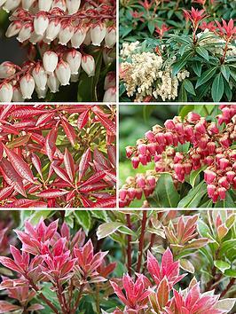 pieris-evergreen-shrub-collection-x-5-varieites-in-13cm-pots