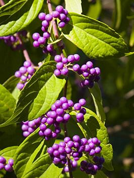 callicarpa-beauty-berry-bush-50cm-tall-3l-pot