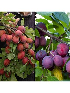 duo-plum-tree-2-varieties-on-one-tree-14m