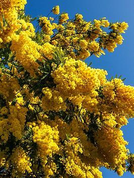 mimosa-tree-acacia-90cm-tall-in-3l-pot