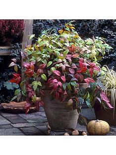 nandina-sacred-bamboo-plant-in-3l-pot