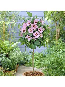 standard-hibiscus-hamabo-pink-1m