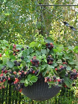 trailing-blackberry-black-cascade-x-2-plants-in-9cm